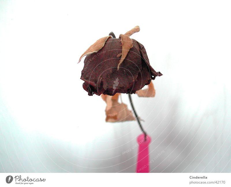 Old Flower Plant Rose Things Vase Limp