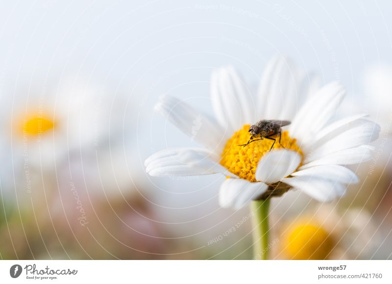 It's served... Nature Plant Animal Summer Flower Blossom Wild plant Flowering plant Meadow Field Fly Insect 1 Brown Yellow White Flower meadow Foraging