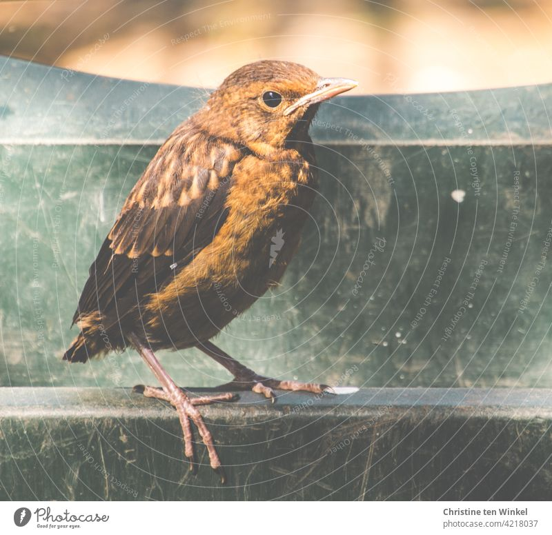 A young blackbird stands on the edge of a green wheelbarrow Blackbird Black Thrush Turdus merula Wild animal Animal Bird songbird Nature Full-length Close-up