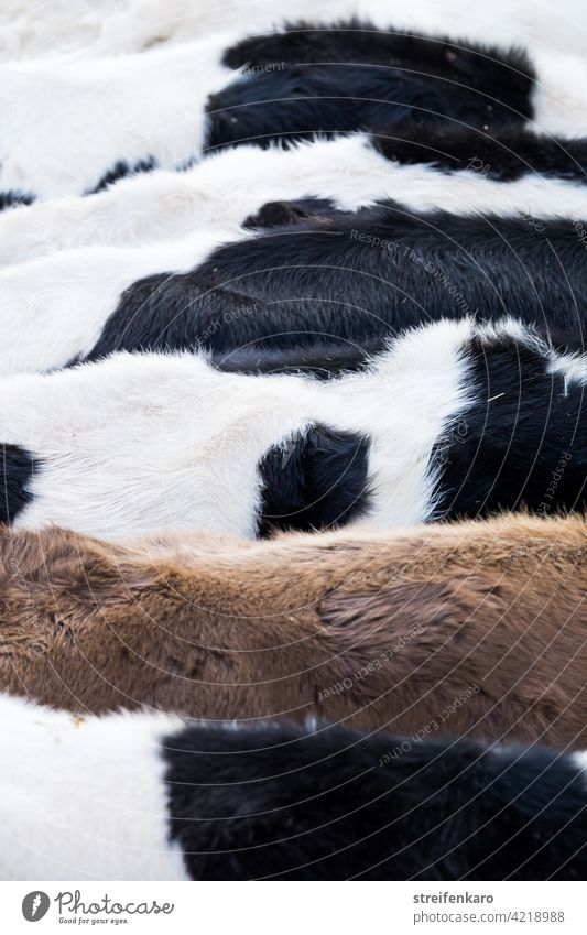 Tightly packed - one coat stands crowded next to the other cows Cow Cattle black-colored Brown Pelt animals Farm animals Keeping of animals Agriculture