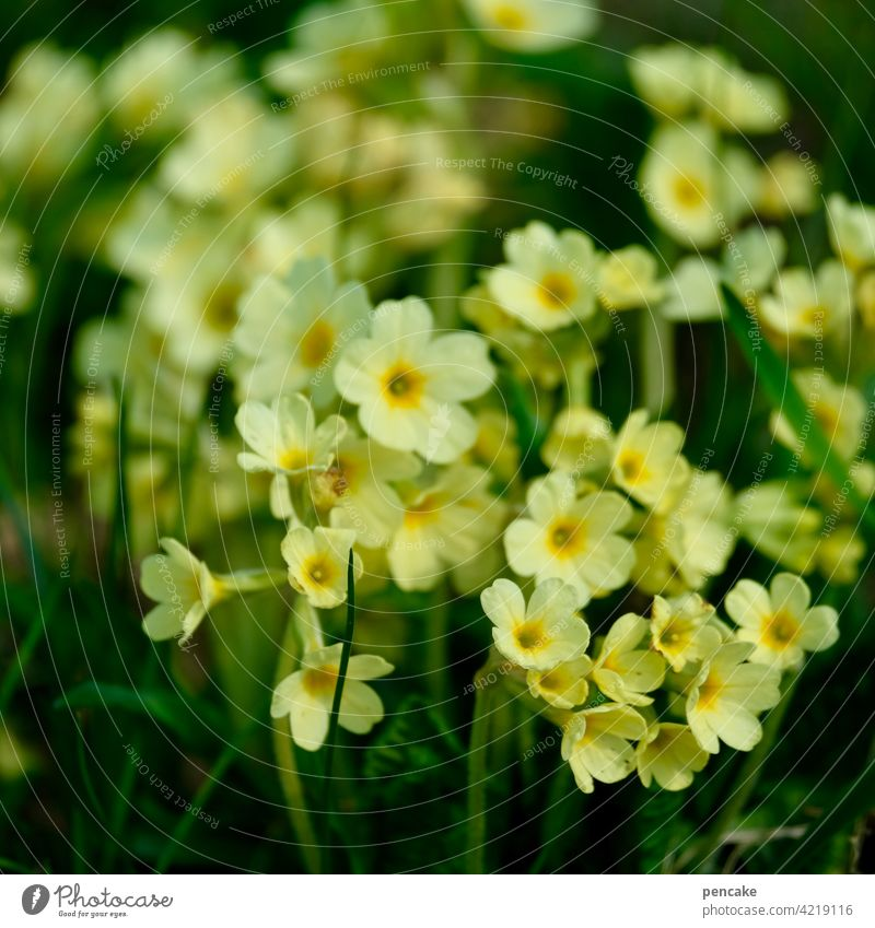 Primrose Plant Flower wild flower Blossom Yellow Spring nature conservation safeguarded protected species cowslip Close-up Blossom leave Detail