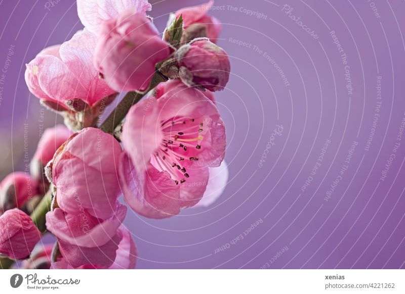 Delicate and pink: apricot blossom on branch against purple background Blossom Twig Pink Spring Blossoming bud Spring fever Apricot tree fruit blossom pretty