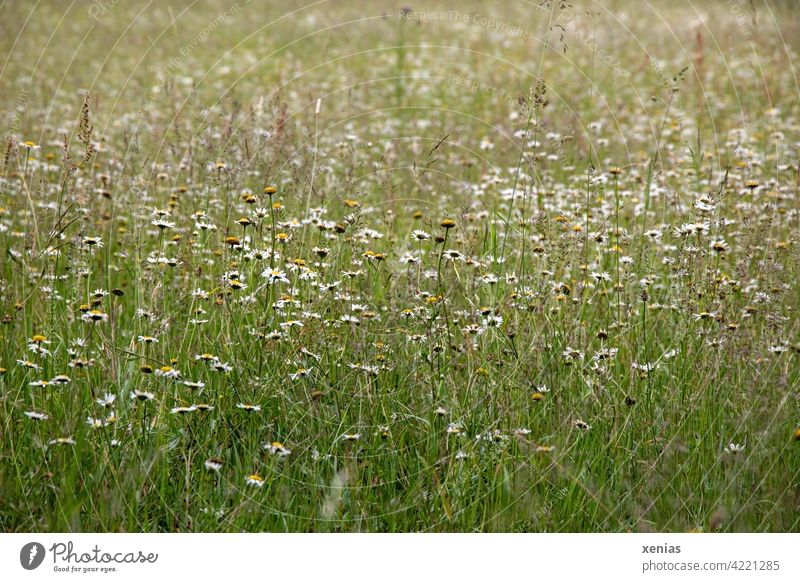 Green meadow with daisies, chamomile flowers and grasses Meadow Flower meadow blossoms spring meadow Daisy Meadow flower Camomile blossom Grass Willow tree