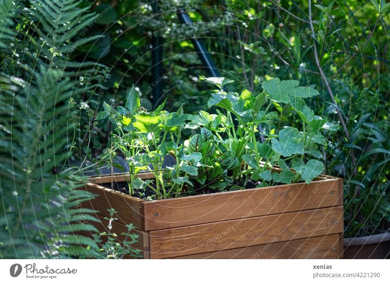 Wooden raised bed for children with green young pumpkin and zucchini plants stands in the garden by the fence Garden self-catering useful plants Vegetable
