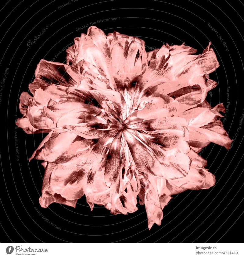 X-ray image of a luminous and withered tulip creatively Art pretty Plant Blossom Tulip Dark Black background projects faded Flower Abstract backgrounds