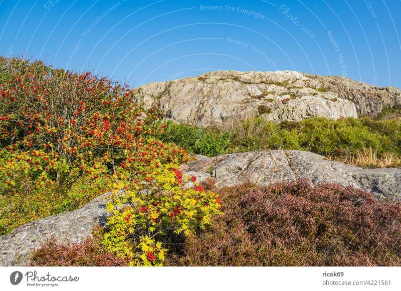 Rocks on the Weather Islands in front of the town of Fjällbacka in Sweden archipelago archipelago garden heather bush Rawanberry archipelago island Tourism Sky