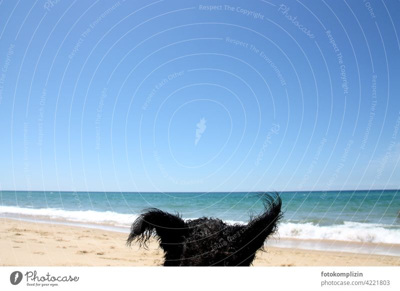 funny dog ears in front of bright blue sea and sky Dog Funny Vacation photo Animal Pet Ocean Beach Beach life Vacation mood sunshine To enjoy Free Listening