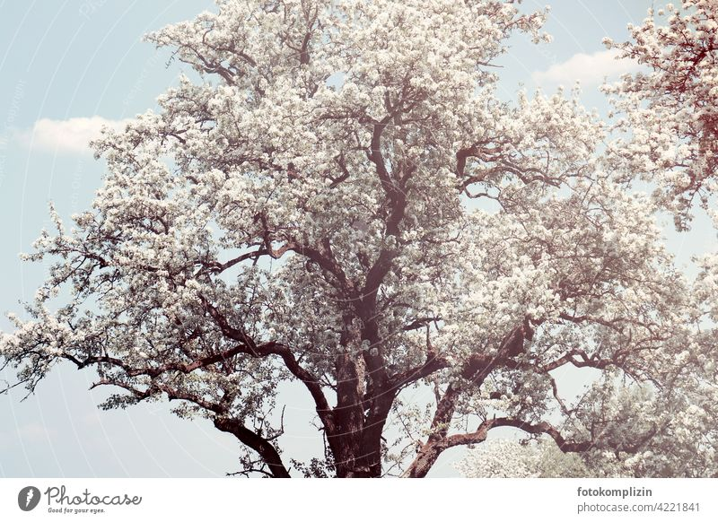 white flowering old tree Blossoming Tree Treetop Spring come into bloom blossoming romantic Ease White Delicate Fresh Spring fever Love of nature Springtime