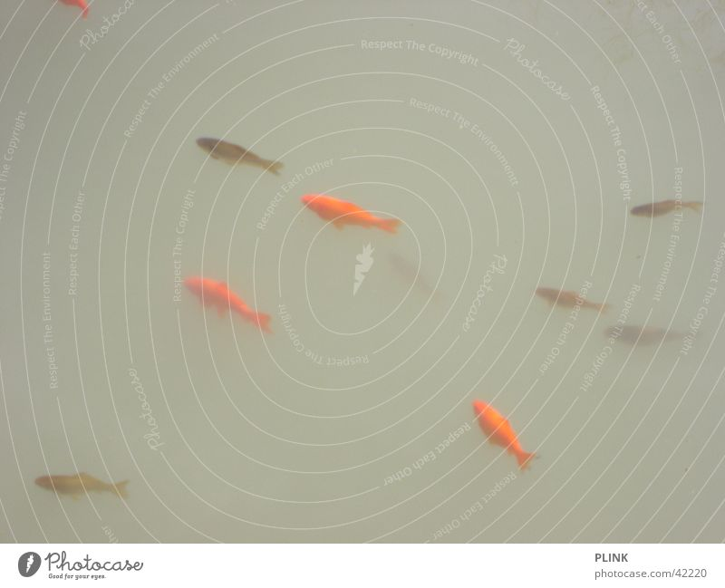 Heaven is a fish soup Goldfish Red Gray Dreary Calm Fish Water