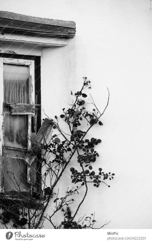 Transience - old window with rose tendril in black white Old Loneliness Derelict Window Ruin Decline Broken Building House (Residential Structure) Past Facade