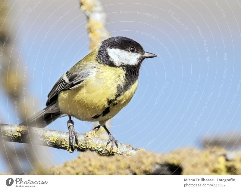 Great Tit in the sunshine Tit mouse parus major Animal face Beak Eyes Feather Grand piano Claw Twigs and branches Tree Bird Wild animal Nature Animal portrait