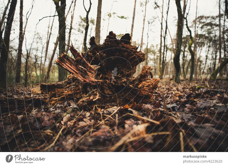 Tree trunk Rootstock rootstock Forestry Forstwald forest forestry Woodground closeness to nature Natural regeneration