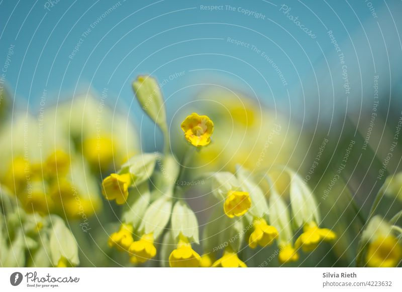 Primroses against blue sky on a spring day cowslip Flower Nature Yellow Spring Blossom Close-up Colour photo Plant Blossoming Garden naturally Deserted
