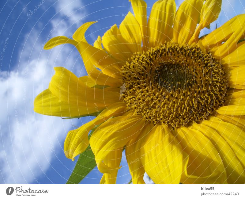 Nature Sky Flower Clouds Yellow Blossom Clarity Transience Friendliness Sunflower Beautiful weather Kernels & Pits & Stones Light blue Hildesheim