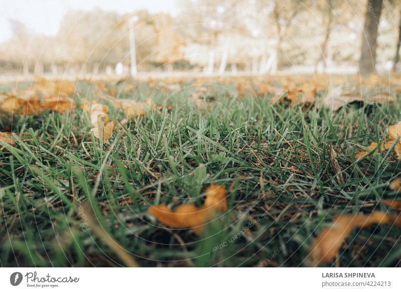 Beautiful autumn landscape with yellow trees, dry orange leaves and sun's rays. Colorful foliage in city park. Falling leaves on natural background nature