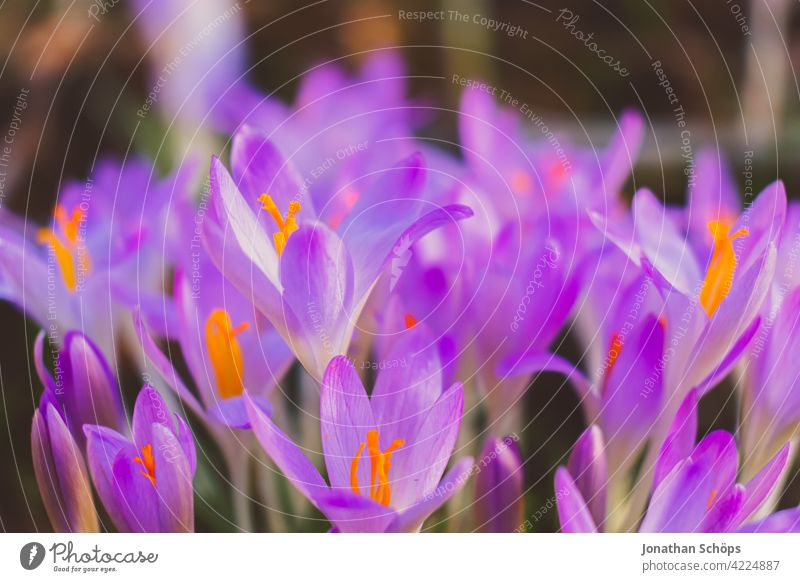 Early bloomer crocus macro shot violet Shallow depth of field Light Day Deserted Macro (Extreme close-up) Detail Close-up Exterior shot Multicoloured
