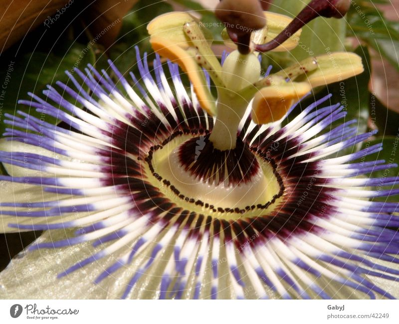 Nature Beautiful Sun Flower Blossom Circle Exceptional Upward Against Pistil Brilliant Wreath Creeper Passion flower