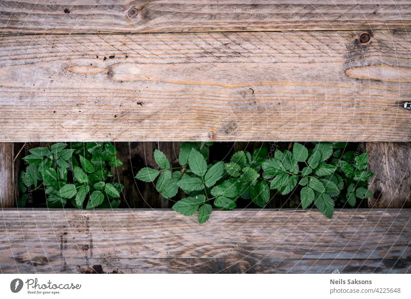 Aegopodium podagraria, belongs to the wild herbs and wild vegetables growing between wooden planks texture old brown board timber pattern floor textured