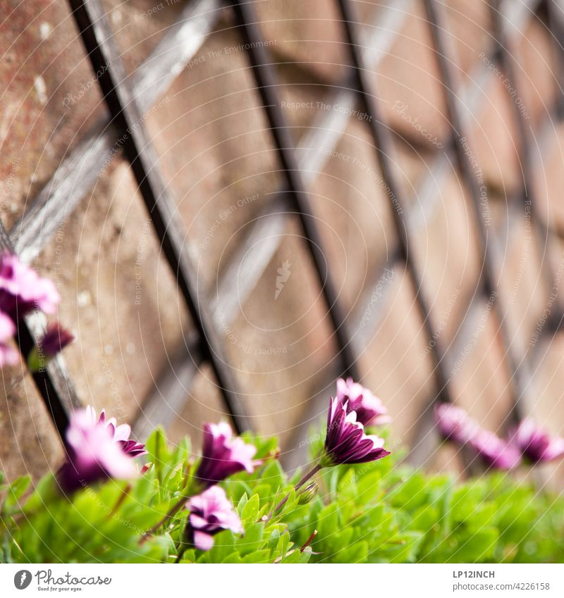 Flowers on the vine trellis flowers Garden wax Help helping Wood Nature Balcony out hobby do gardening Summer at home Growth Gardening Spring Wall (building)