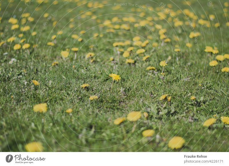 Meadow with dandelion - a flower in focus and blur in foreground and background Dandelion Yellow Green Spring Blossom Nature Grass sea of flowers spring Summer