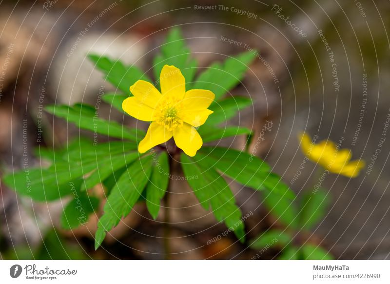 yellow flower in the mountains Anemonoides ranunculoides Flower Nature Mountain Forest Plant color Blossom Leaf