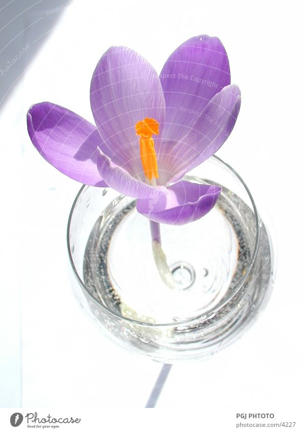 love trial Crocus Flower Violet Style glass Nature Colour