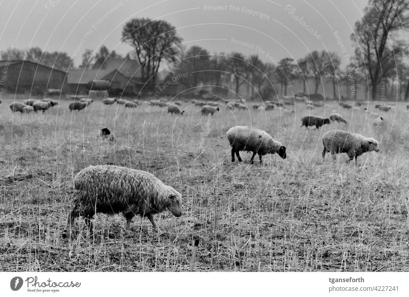 Sheep in the rain Flock Rain Wet Wool Farm animal Exterior shot Herd Nature Meadow Animal Group of animals Landscape Grass Willow tree To feed Deserted