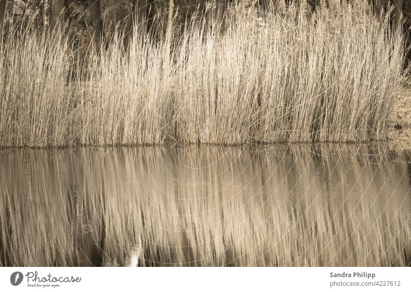 Reflection of light brown reed reflection Water Lakeside Idyll Environment Landscape Exterior shot Nature Calm Colour photo Relaxation Peaceful Water reflection