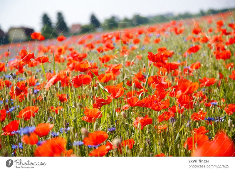 Field with bright red poppies in summer. Vienna, Austria. Papaver Papaver rhoeas Papaveraceae bloom blooming blossom botanic botany flora floral flourish flower