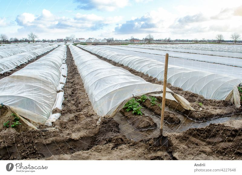 Water flows through channels into a greenhouse tunnel with a planting of potato bushes. Growing crops in early spring in greenhouses. Agricultural industry. Agricultural irrigation system.