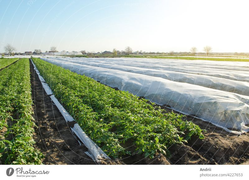 Potato plantation under agricultural fiber and in the open field. Hardening of potato bushes plants in late spring. Create a greenhouse effect for care and protection. Agroindustry, farming.