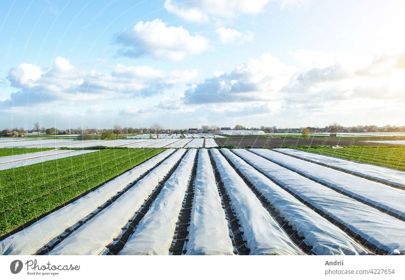 Potato plantation fields partially covered with agricultural spunbond fiber. Gradual removal and hardening of potato bushes plants in late spring. Create a greenhouse effect for care and protection.