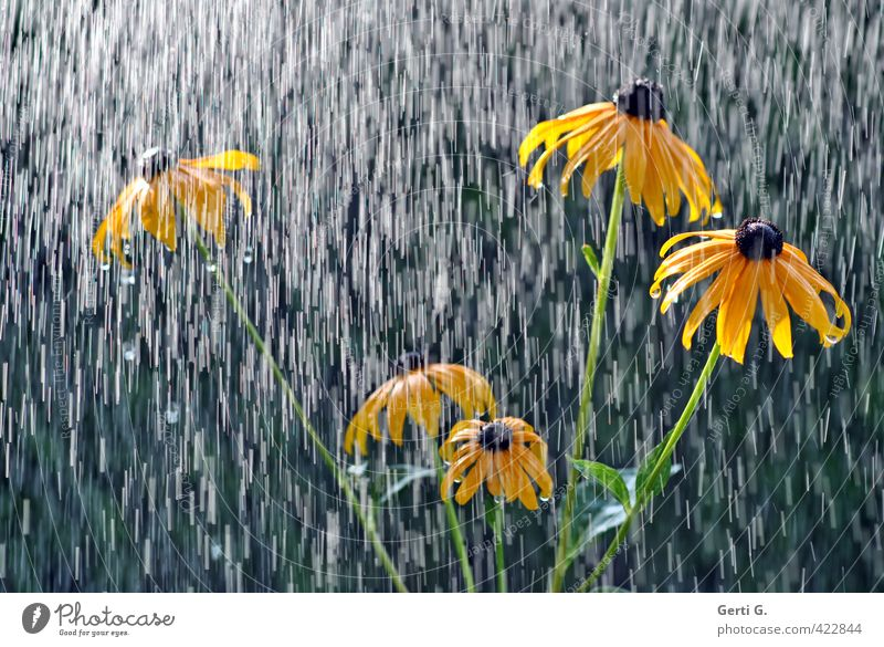 It's raining on the sun hat. Rain Rainwater Refrigeration Change in the weather Drops of water Wet Bad weather Sunlight Flower Rudbeckia Plant Yellow
