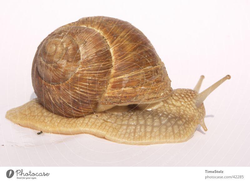Transport Snail Vineyard Snail shell Mollusk Vineyard snail