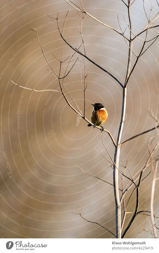 Common Stonechat male on his singing roost Bird Animal Exterior shot Colour photo Deserted Wild animal Animal portrait Grand piano Beak plumage Eyes feathers
