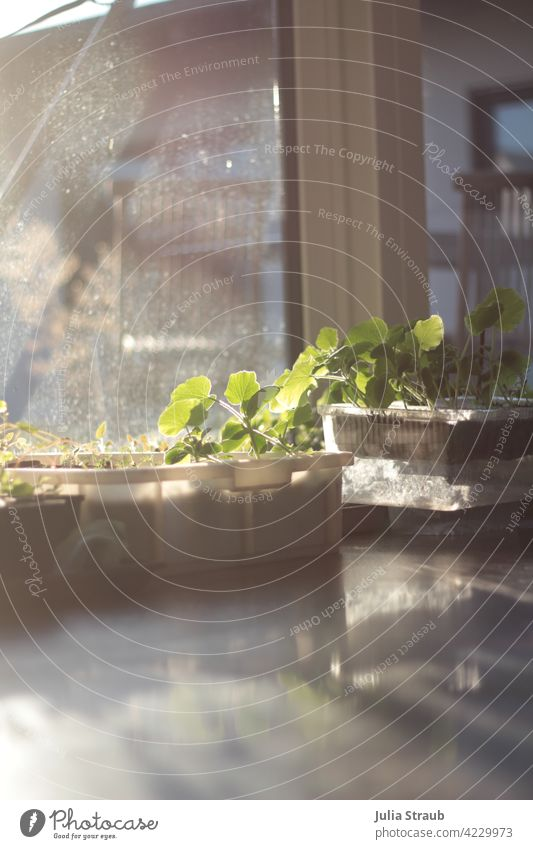 Vegetable growing in the evening sun in the living room Vegetable plant cultivation wanton box Pumpkin plant Sunlight Reflection diffuse light evening light