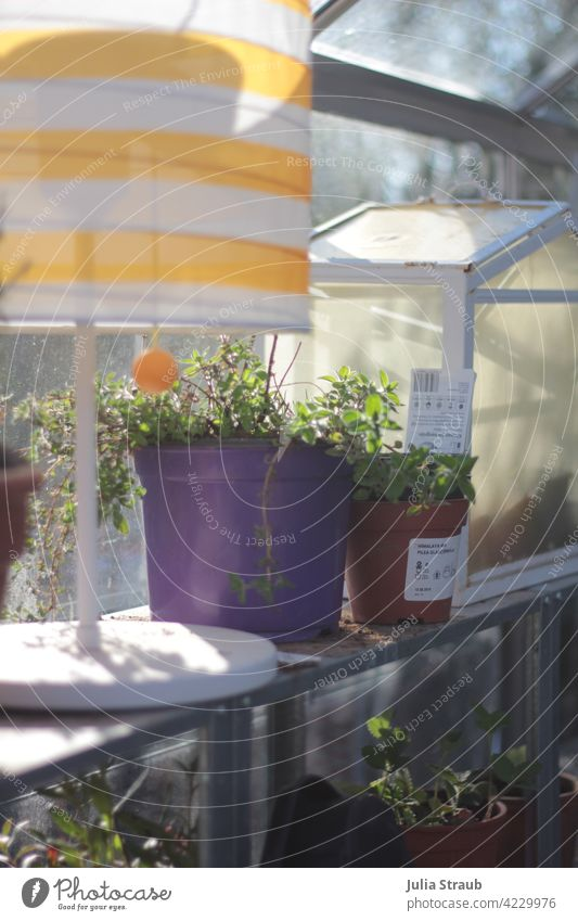 Greenhouse greenhouse with lamp and plants Greenhouses Sunlight Shadow play diffuse light Strawberry plants Oregano motley purple Striped Standard lamp Small