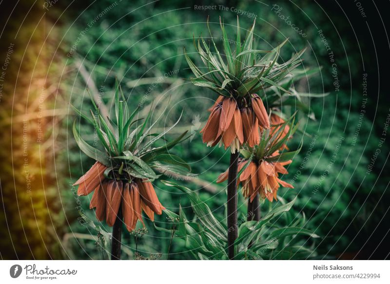 Orange Fritillaria imperialis flowers in spring garden. Imperial hazel grouse or Kaisers crown flowers. Selective focus orange bell royal nature sensuality stem