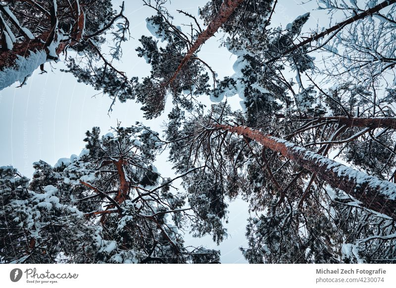 a look up at snow-covered treetops winter outdoor nature tall forest white season background sky cold wood day park beautiful view frost landscape blue crown