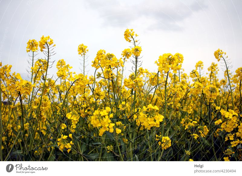yellow rape blossoms in front of cloudy sky Canola Canola field Spring Agriculture Field Plant Nature Environment Exterior shot Agricultural crop Deserted