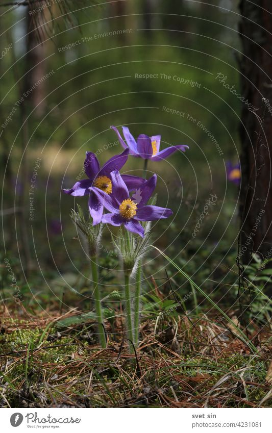 Pulsatilla patens, eastern pasqueflower. Bright purple flowers of Pulsatilla patens in green forest in springtime outdoors close-up. Spring purple flowers background. Play of light and shadow on petals
