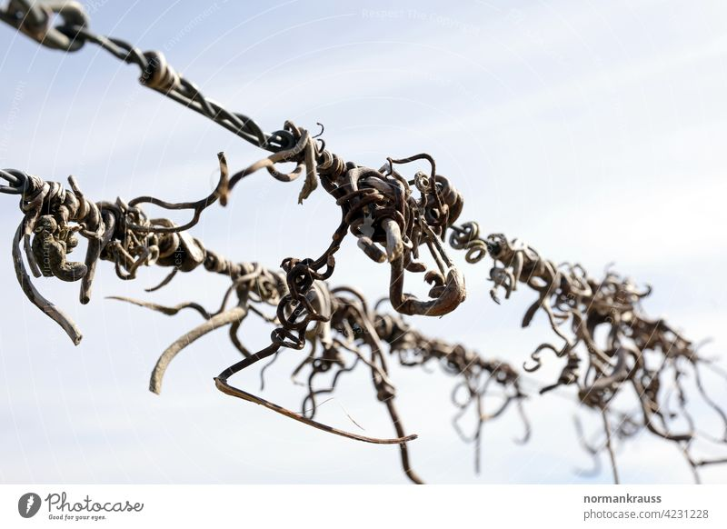 withered vines rebranch vine plant vine tendril embrace Wire Tendril Wine growing agrarian To hold on Hold Agriculture flora detail Close-up Nature Withered