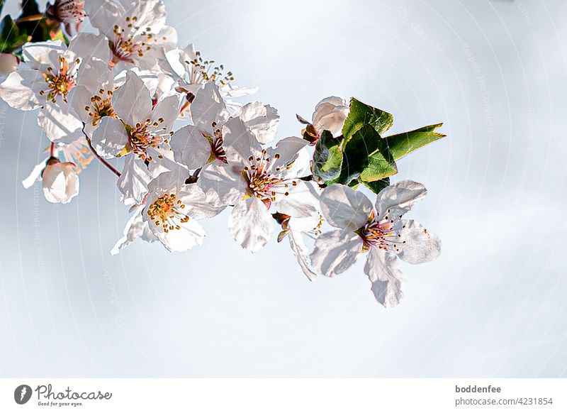 a lushly blooming branch of a blackthorn in the backlight, which casts shadows on the petals inflorescence Nature Close-up spring bloomers flowering twig