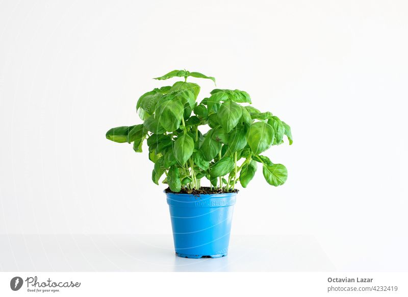 Fresh green bush of potted basil plant in a blue plastic pot isolated on plain white background leaves kitchen aroma vitamin gardening branch sweet eat flavor
