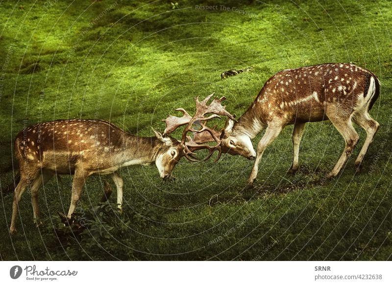 Closeup of Deer Fight animal deer cervidae chital axis axis axis deer cheetal spotted deer deer antlers even-toed artiodactyl cleft-footed cloven-footed