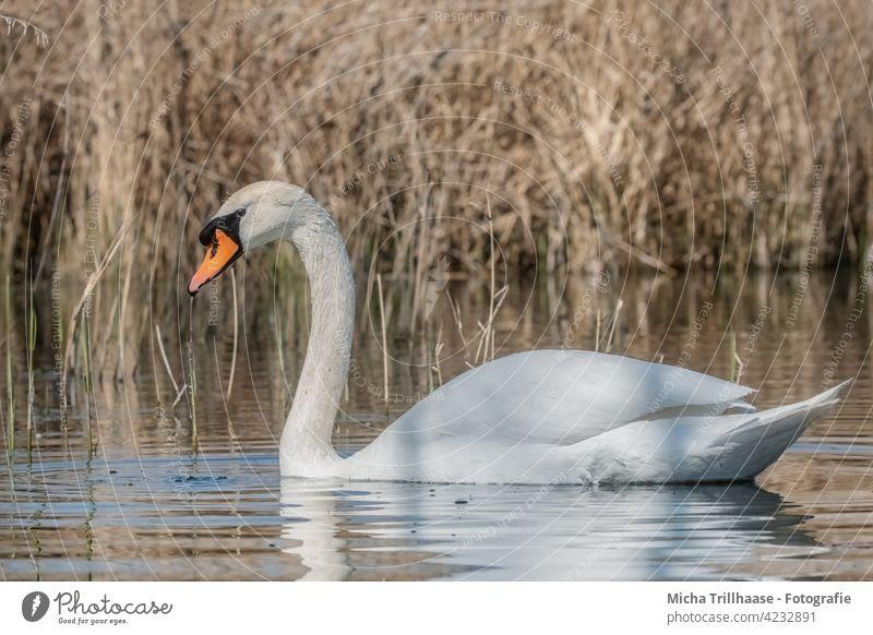 Swan in the lake Mute swan Cygnus olor Lake Bird Animal face Head Beak Grand piano Neck Feather Eyes Plumed Near Close-up Exterior shot Water Animal portrait
