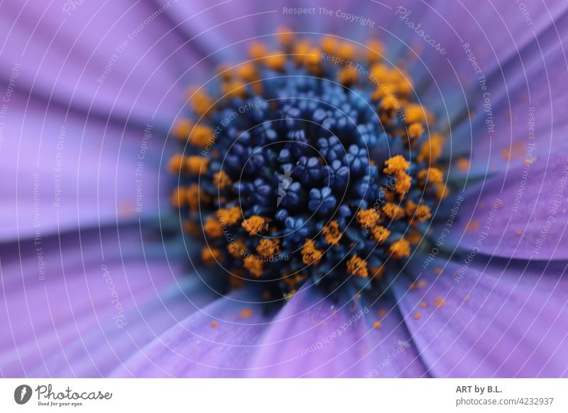 Macro of a daisy...and look in the middle (wonder of nature) Close-up macro Garden photographic art Noble Delicate Flower Blossom Marguerite purple petals