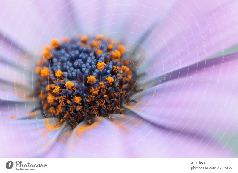 macro flora floral Close-up Noble Flower Delicate Garden photographic art Blossom Marguerite purple petals blurred flowers in the flower