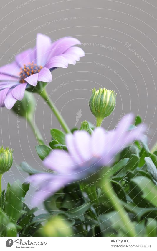 always in order..... Margarita Bud petals purple Marguerite Blossom Flower bud flowers gartemflora Nature Delicate