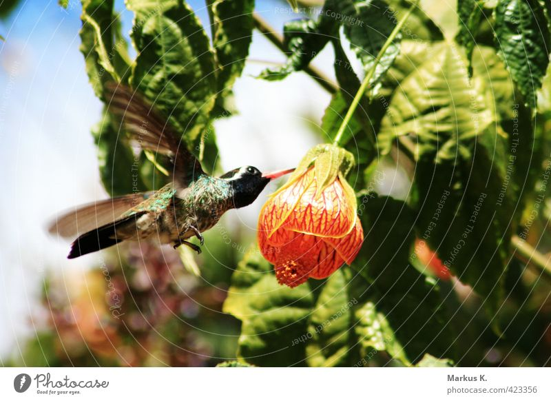 At Dinnertime Nature Plant Animal Flower Blossom Wild animal Bird Wing Hummingbirds Feather 1 Blossoming Eating Flying Exotic Cute Speed Green Red Diligent